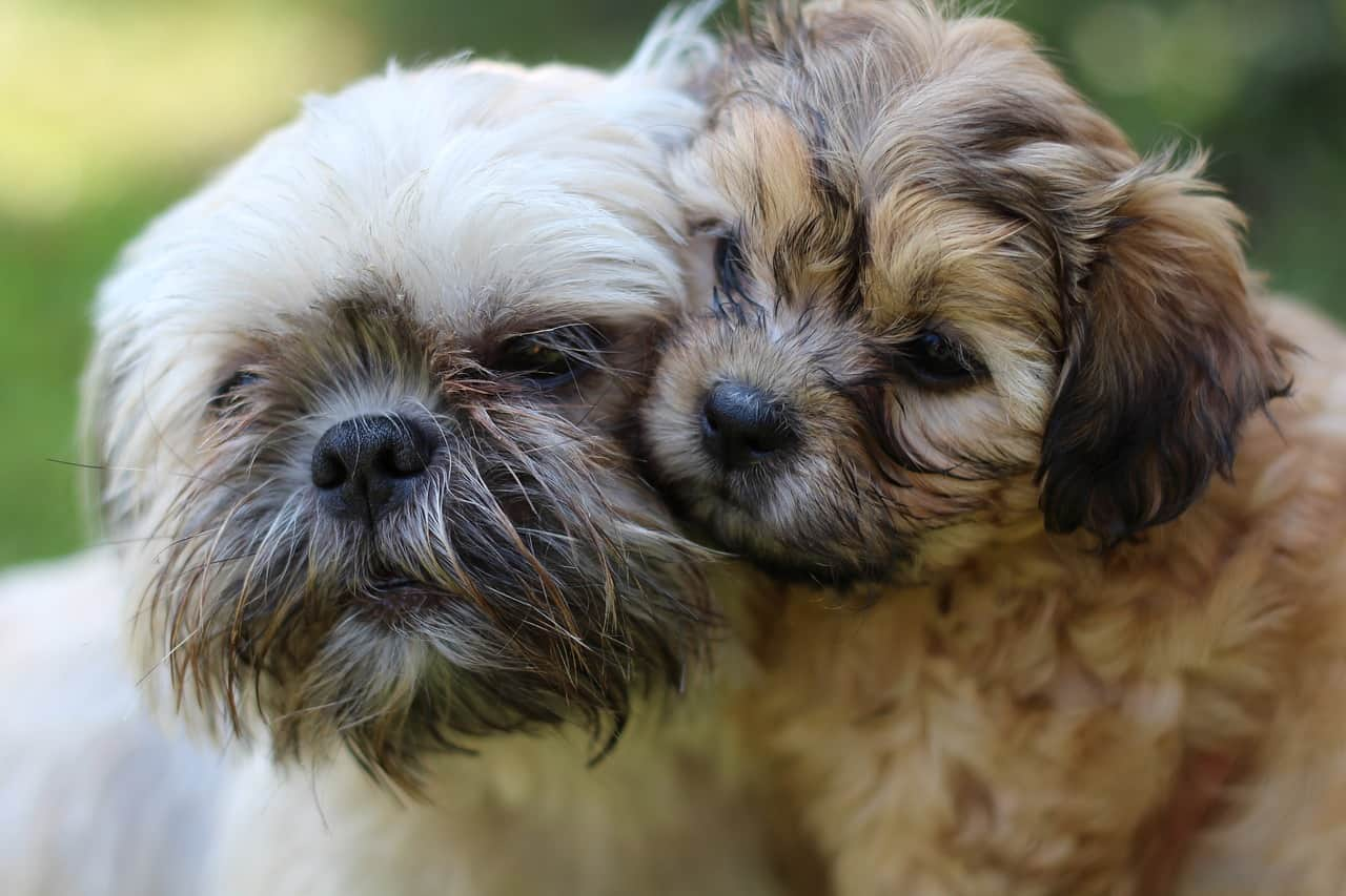 A Shih Tzu Puppy And Its Mother