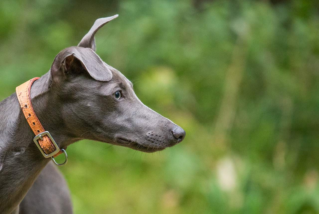 A Whippet Dog Standing Outdoors