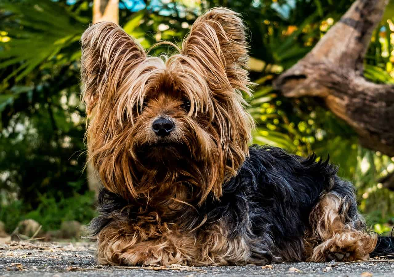 A Yorkshire Terrier Laying Next To A Bush