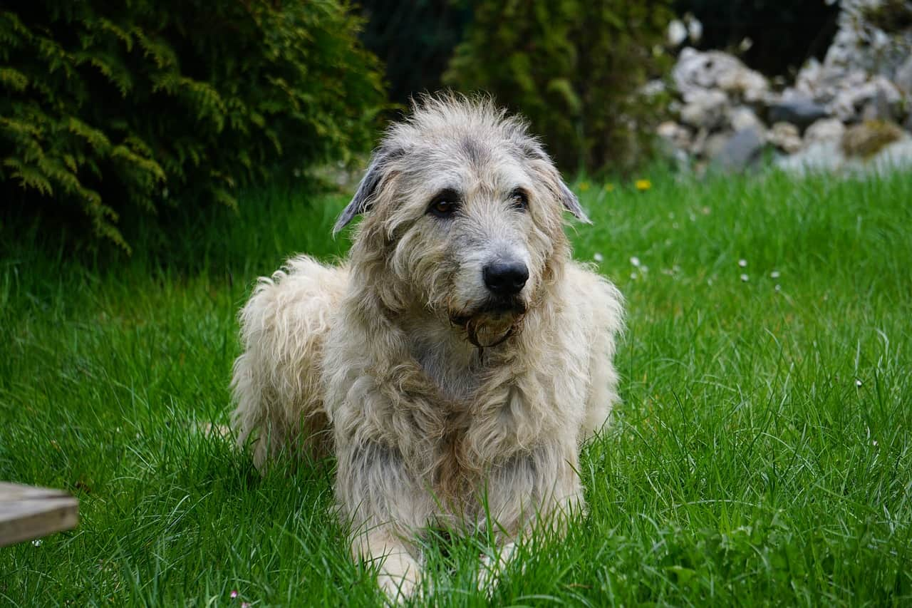 An Irish Wolfhound Laying In Tall Green Grass