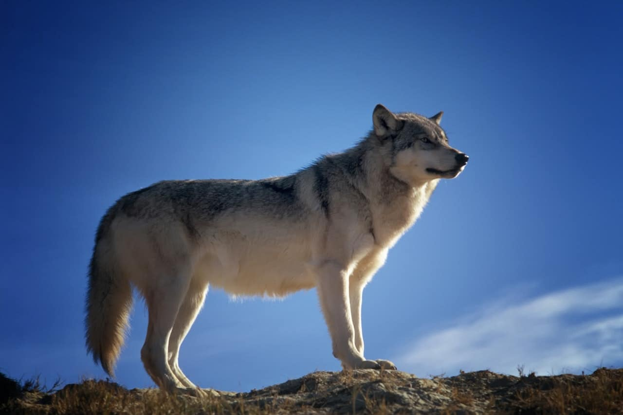 Siberian Husky standing on a rock with the blue sky behind the dog