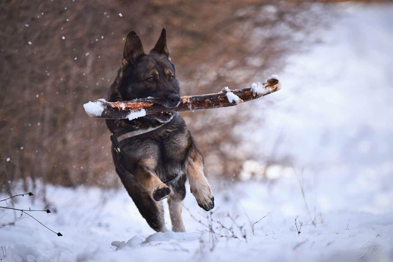 German Shepherd carrying a stick running through the snow