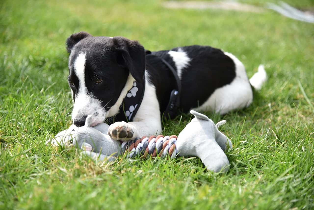 5 Best Virtually Indestructible Squeaky Dog Toys in 2020