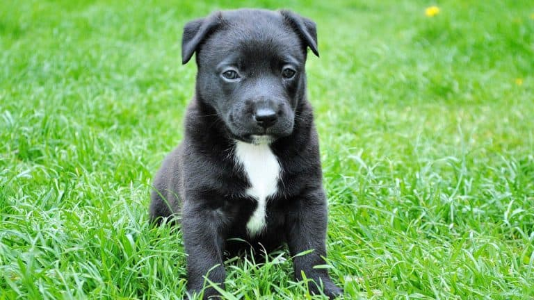 A black puppy sitting in grass