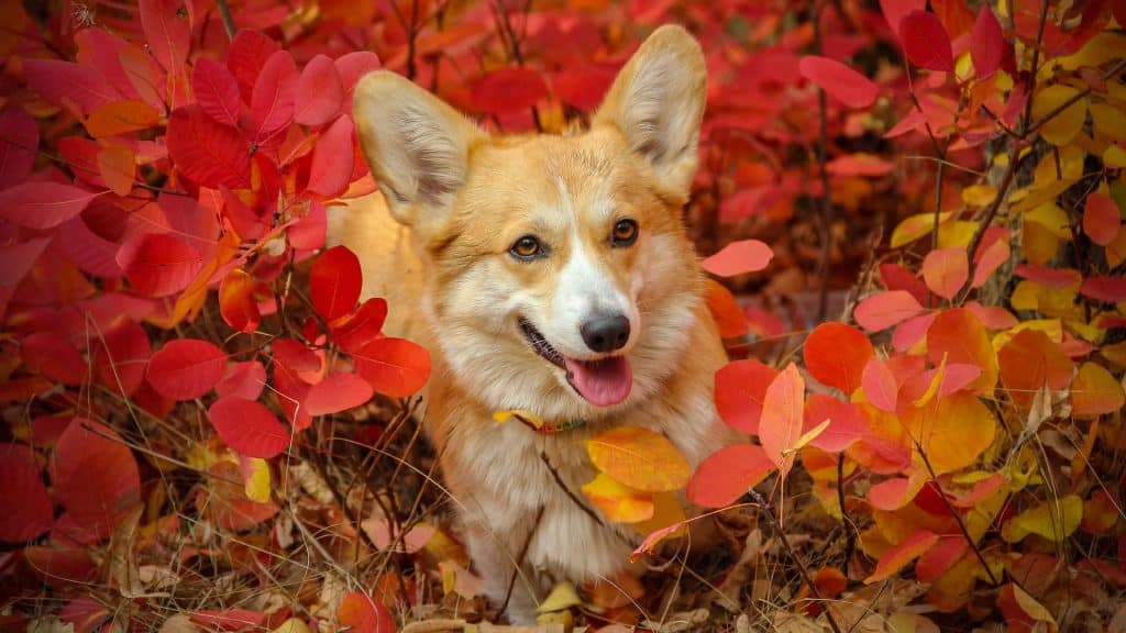 A Pembroke Welsh Corgi laying in red leaves