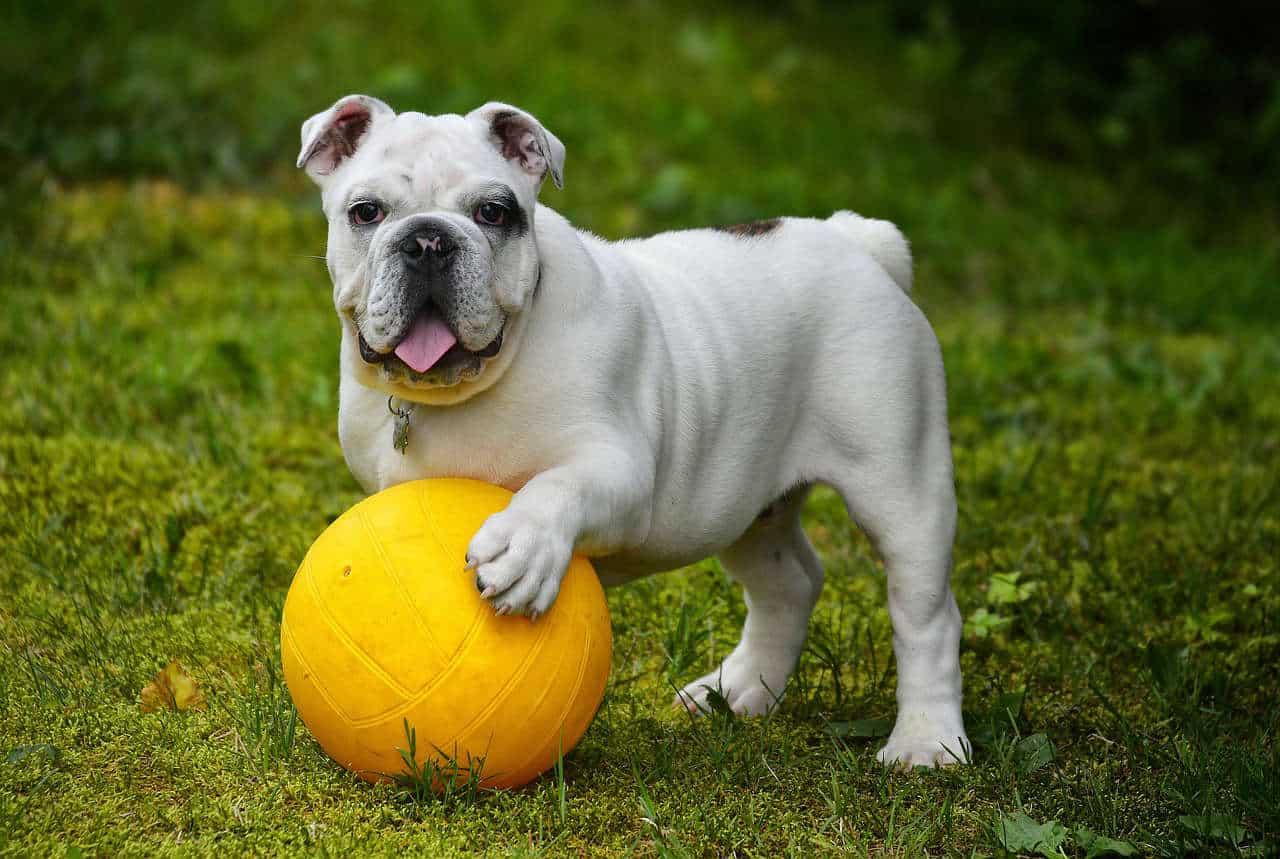 An english bulldog with an orange ball