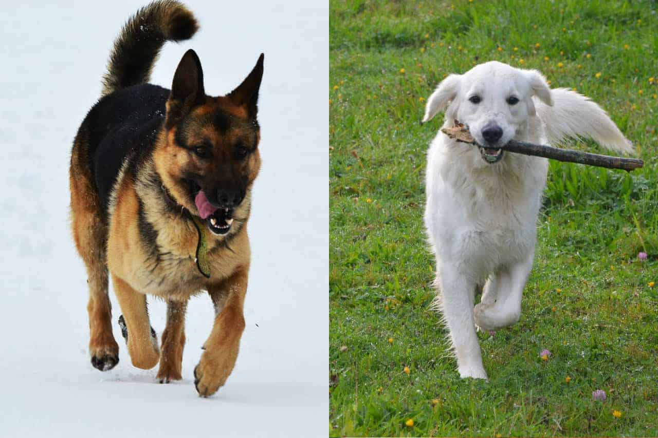 One German Shepherd running in the snow and one White Golden Retriever running with a stick