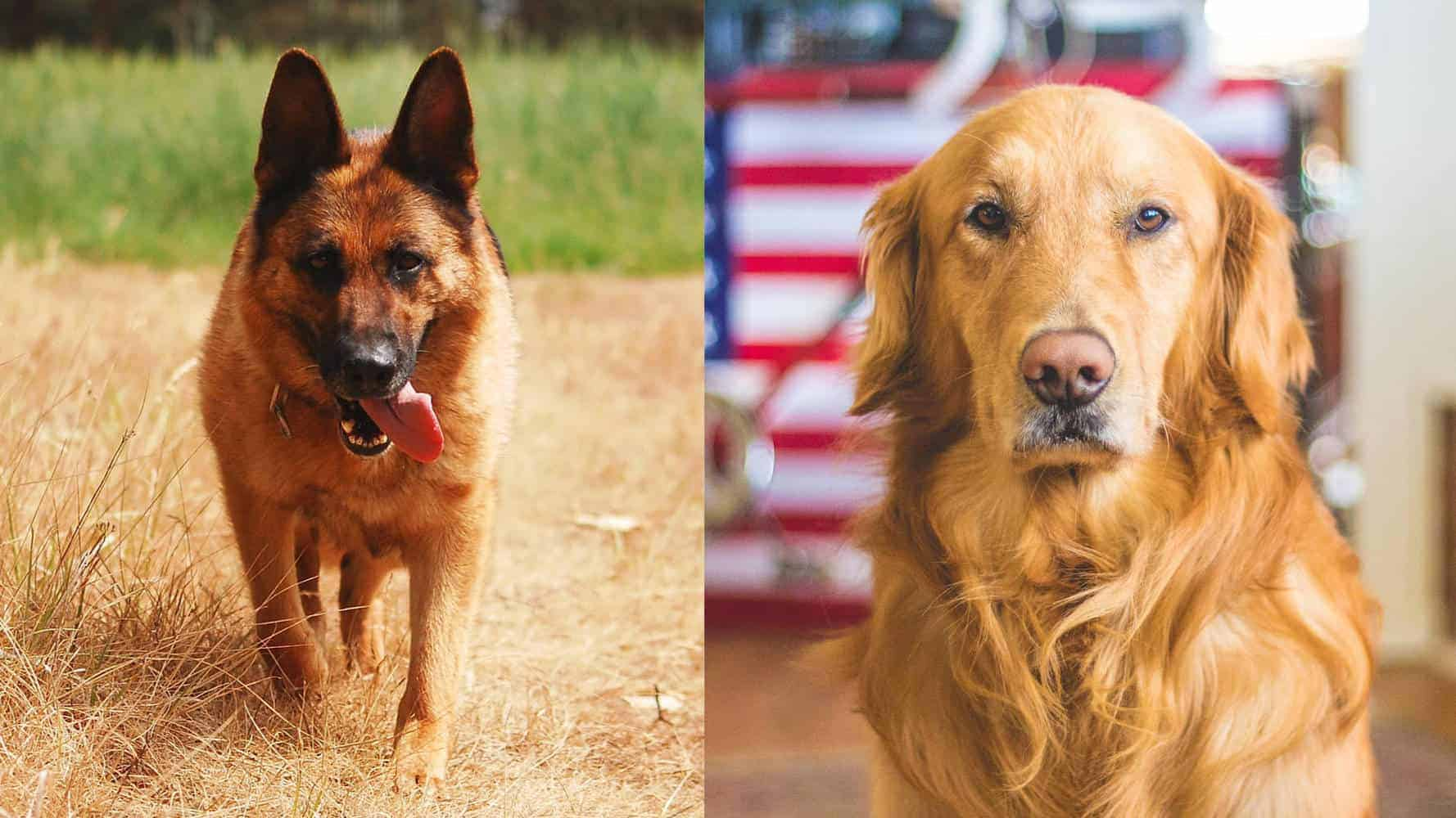 Golden Retriever Vs German Shepherd: What's The Difference?