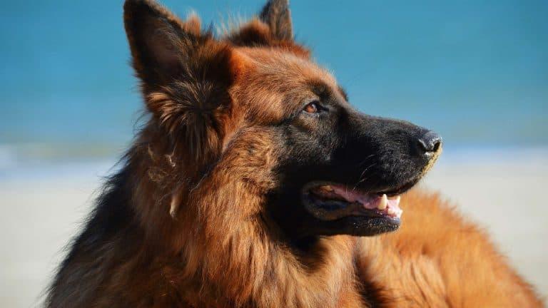 A long haired brown german shepherd