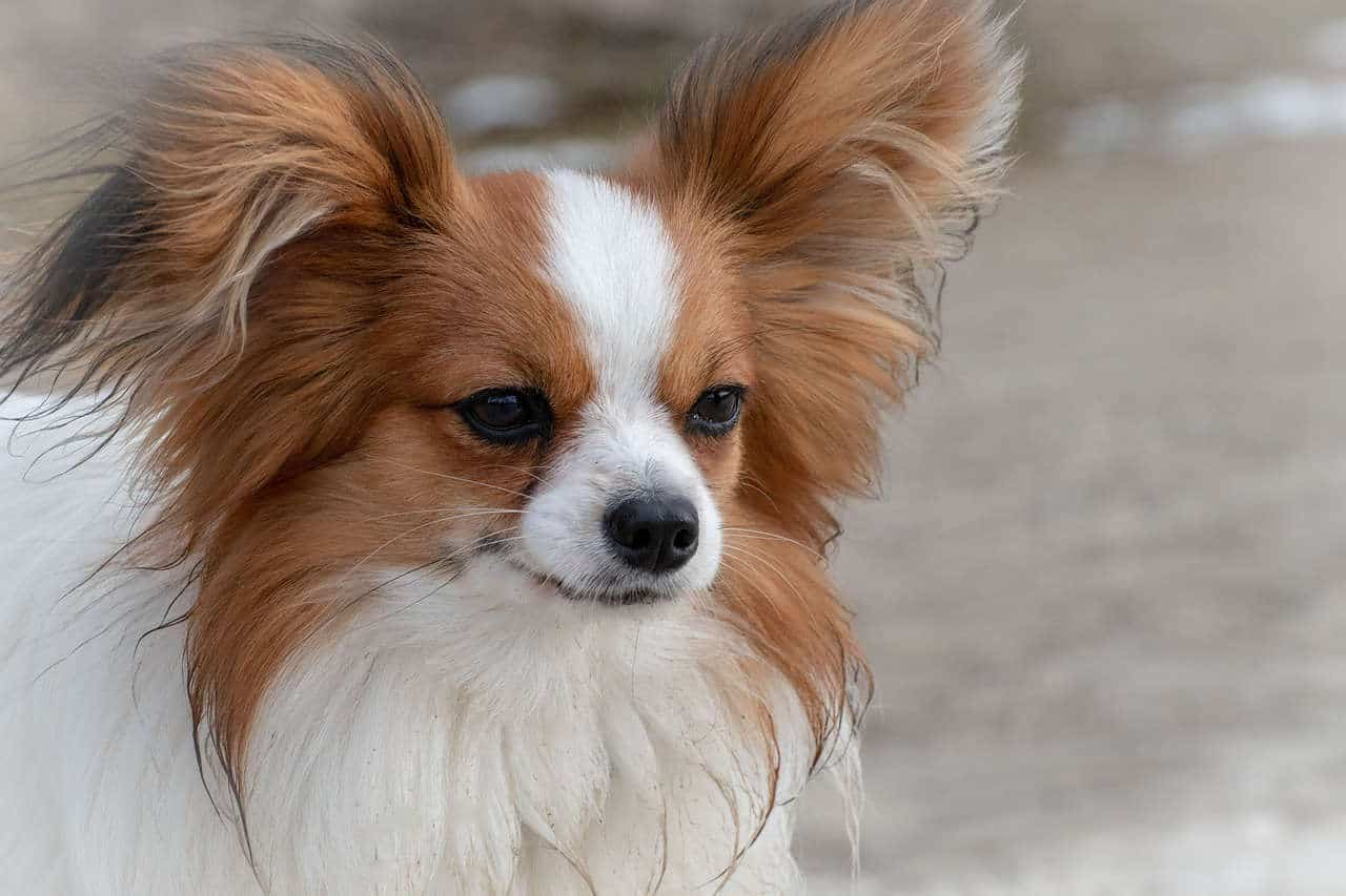 A papillion dog looking towards something out of frame