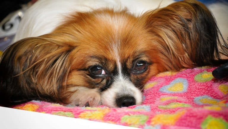 A papillon dog laying down on a pink blanket