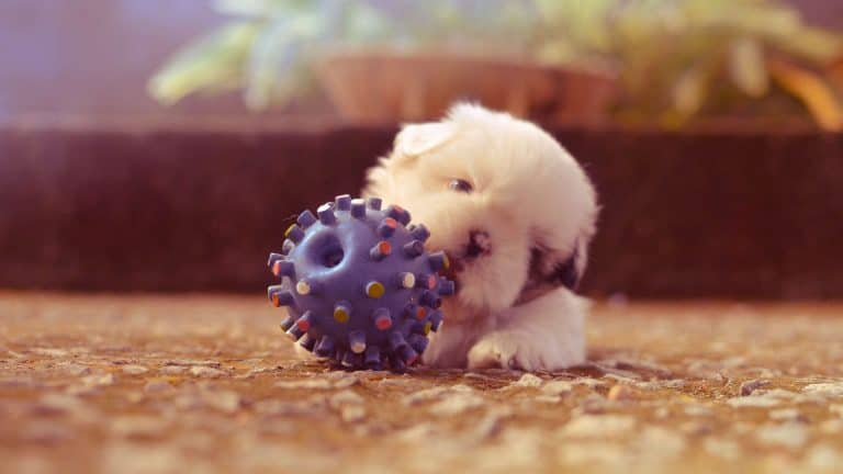 A small white dog chewing a large chew ball