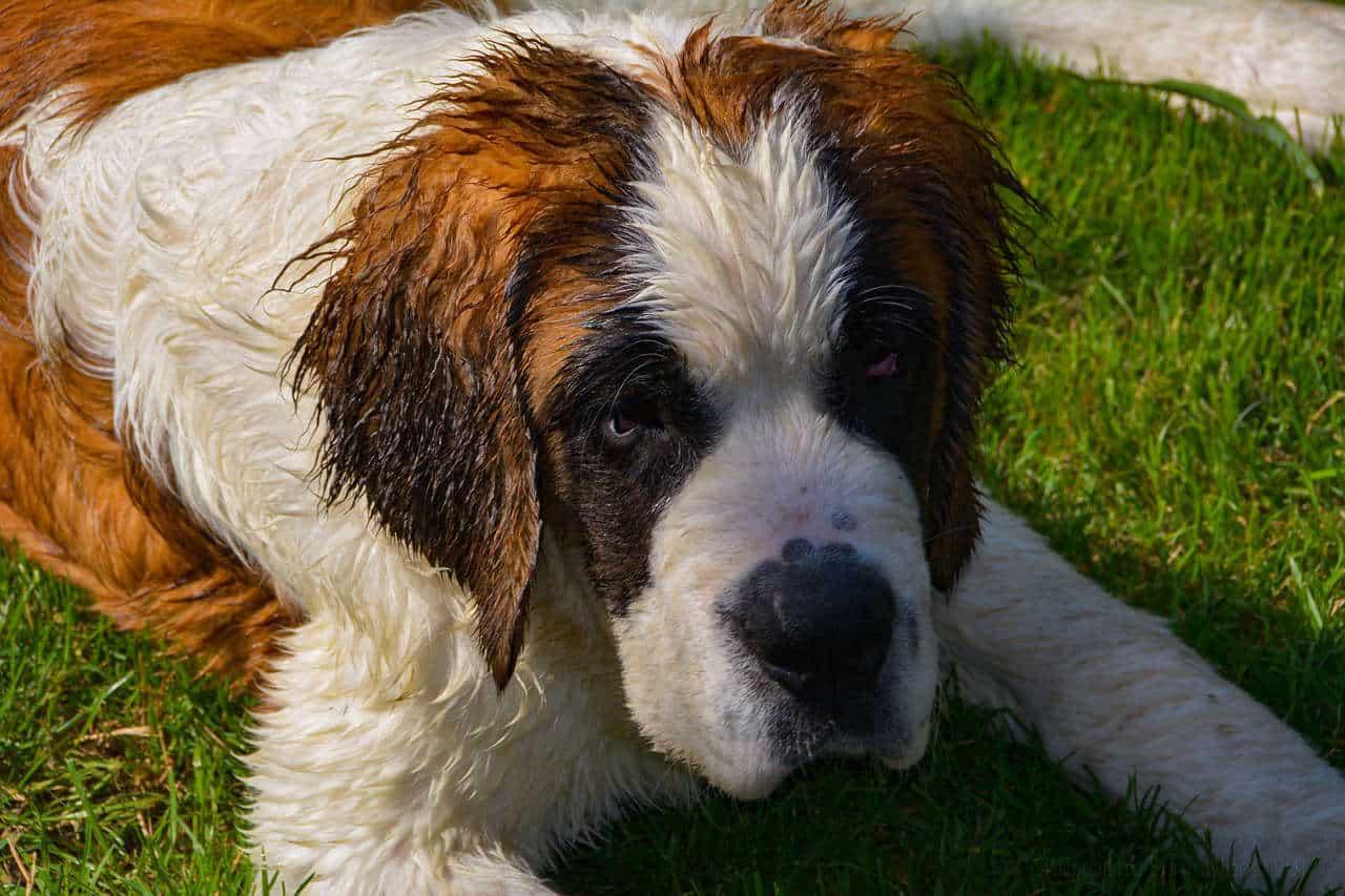 A saint Bernard dog laying on grass