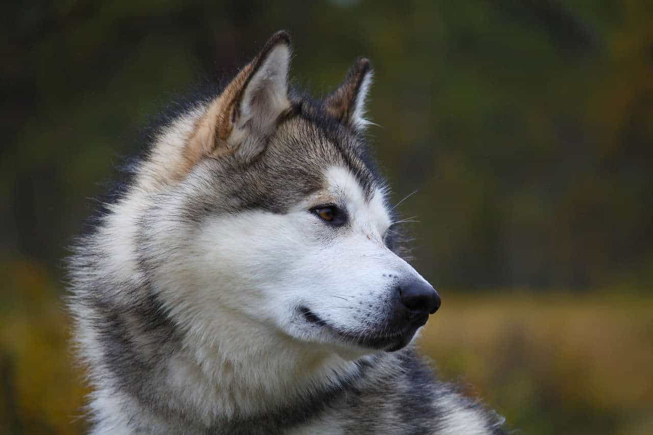 A white and brown alaskan malamute looking back