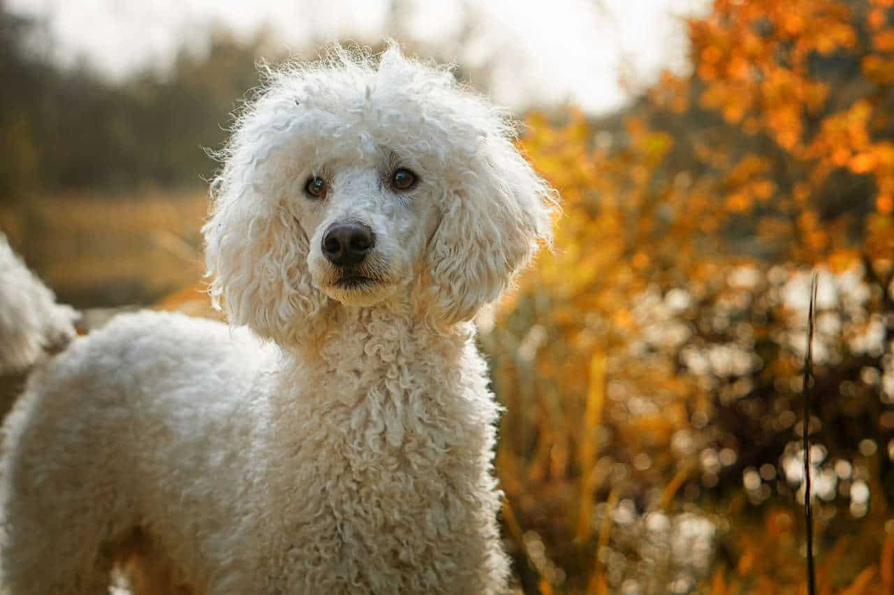 A curly haired white poodle