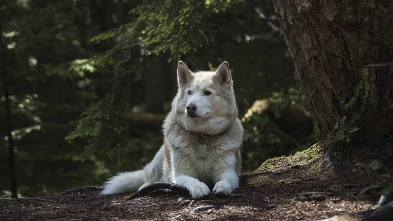 A white Siberian husky laying on the ground in the forest.