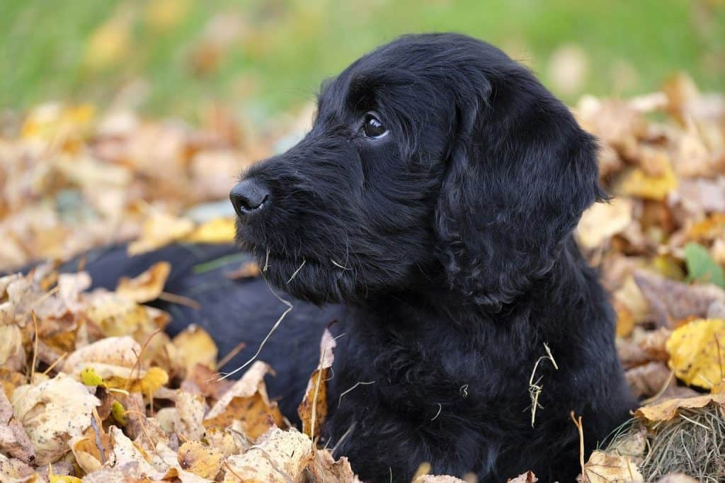 a Labradoodle laying in a pile of leaves and grass
