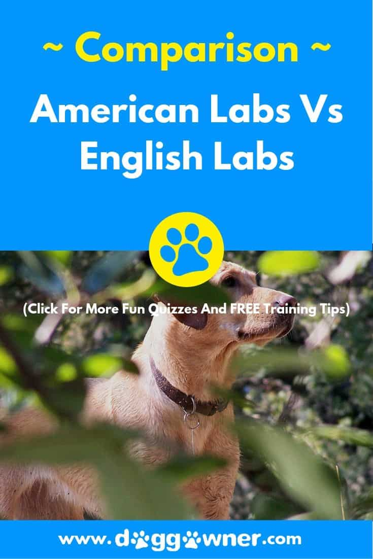 American labs vs english labs pinterest image