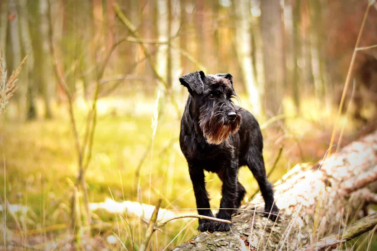 A black Miniature Schnauzer standing on a tree in a forest during Autumn