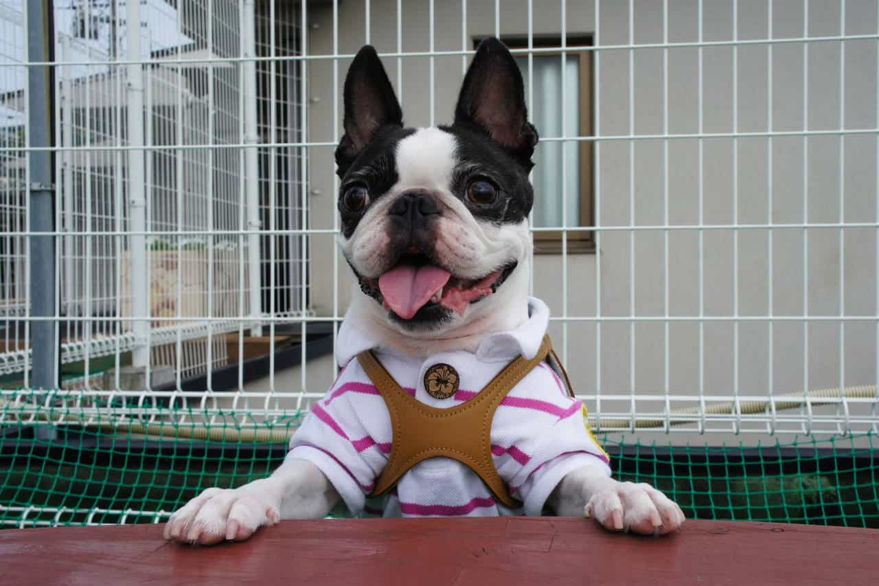 Boston Terrier in a striped shirt in front of a white fence.