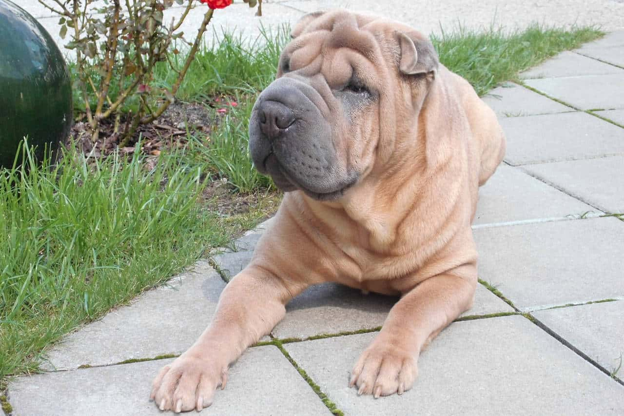 A golden Chinese Shar-Pei  laying on a driveway next to green grass.