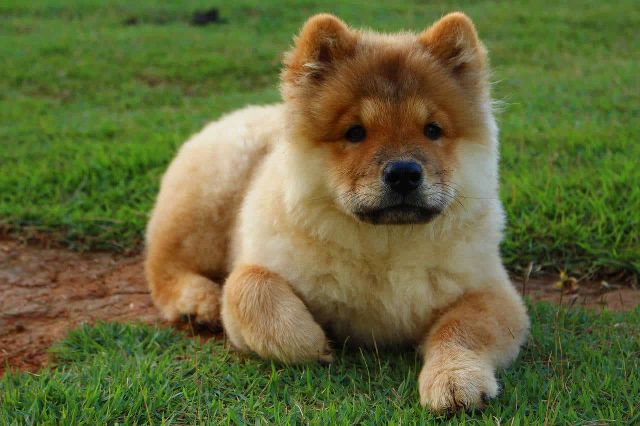 A golden Chow Chow laying on green grass and brown dirt.