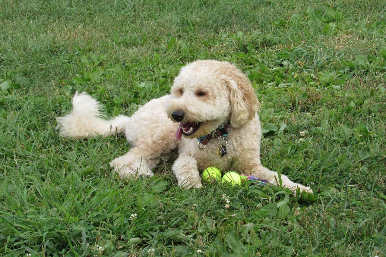A Golden-doodle laying in green grass