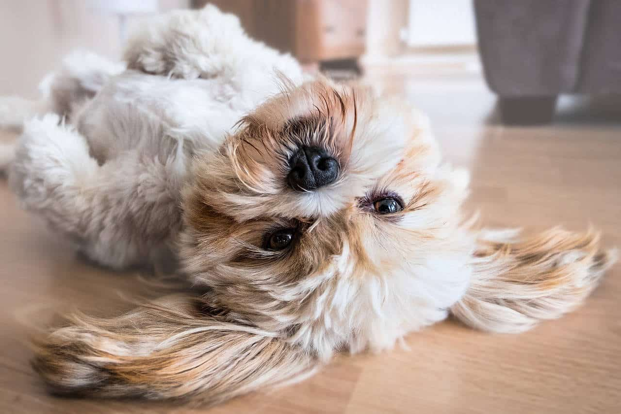 A white and gold lhasa apso dog laying upside down.