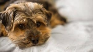 A small brown dog laying on a white blanket that covers a bed