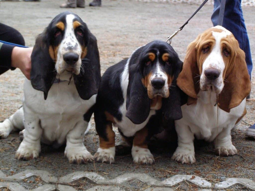 three basset hounds sitting next to each other