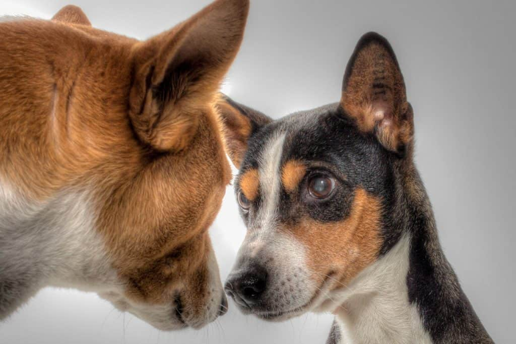 two basenjis looking into each others eyes
