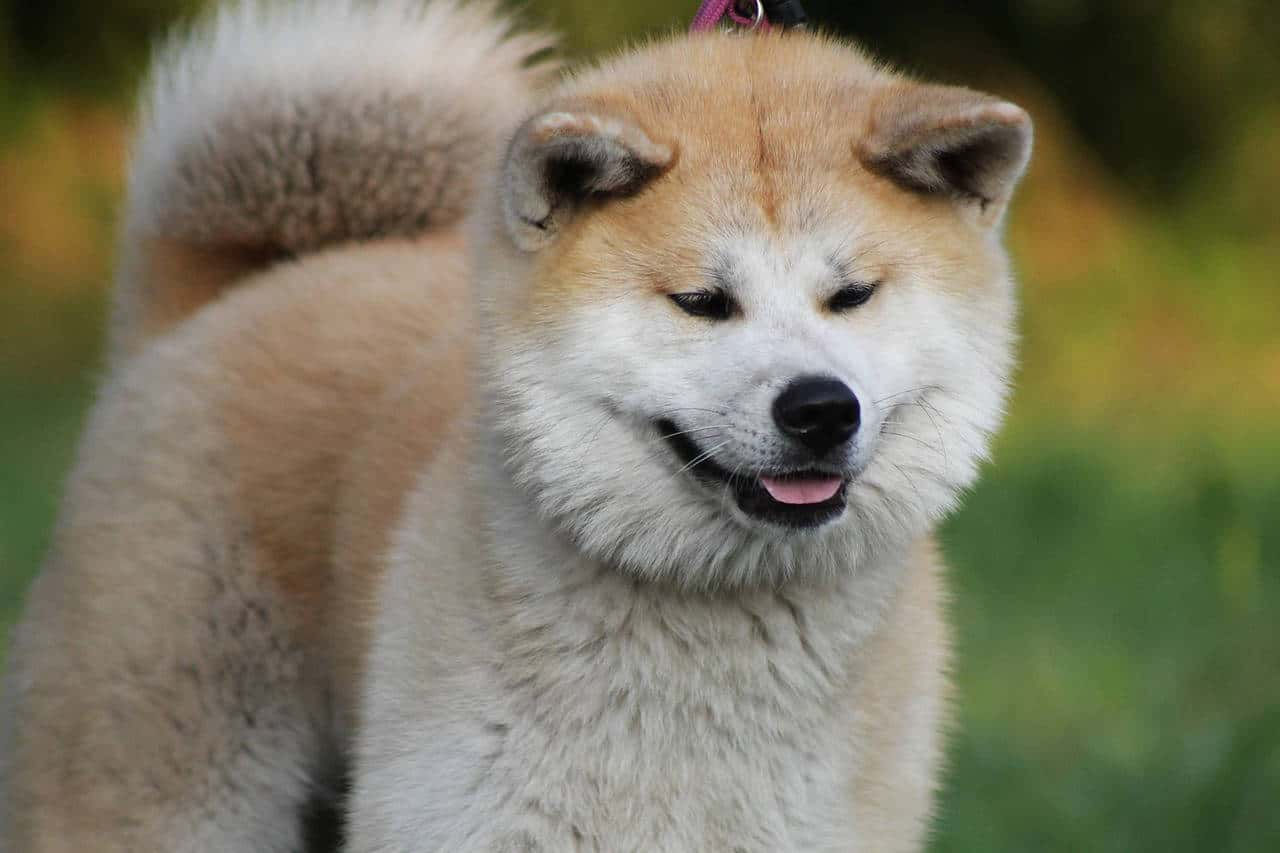 A white and gold akita-inu smiling standing in a green grass field