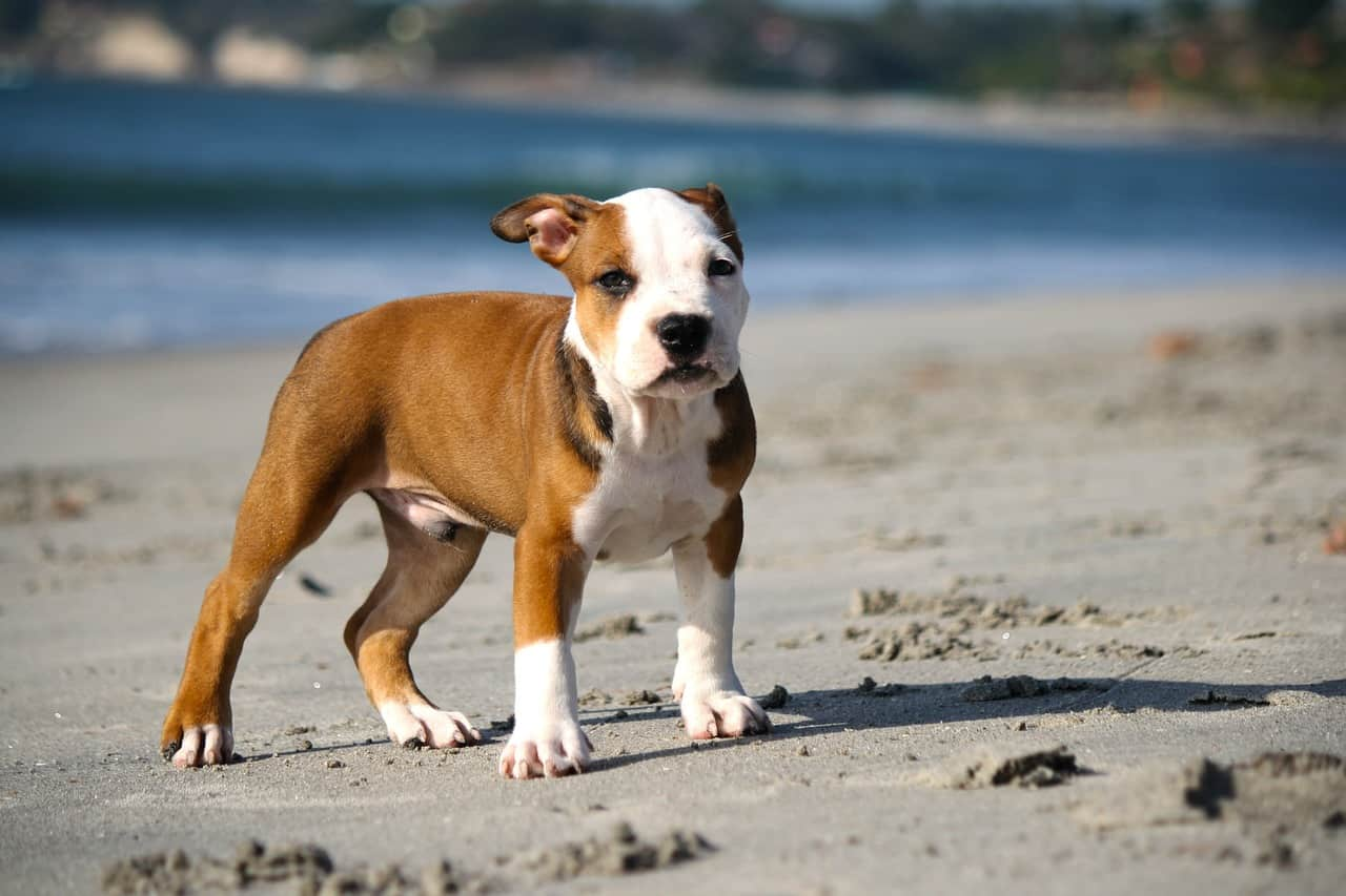 Top 5 Best Chew Toys For Pitbulls in 2020