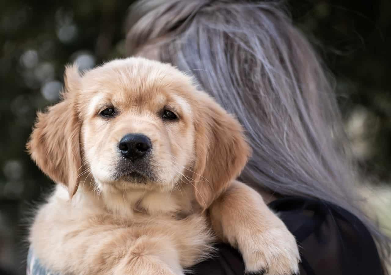 5 Best Dog Foods For Golden Retrievers in 2020