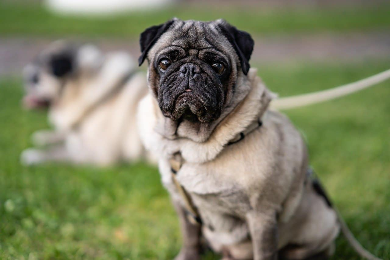 5 Best Brushes For Pugs in 2020