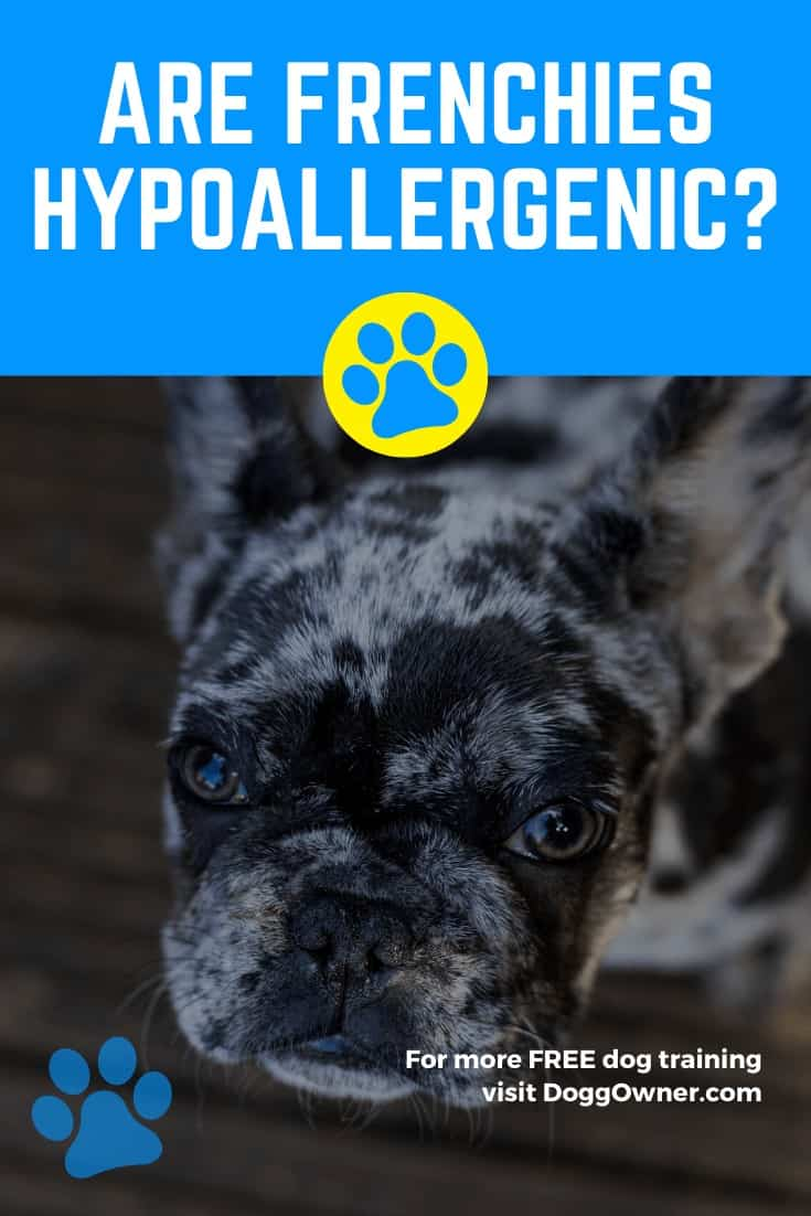 Are Frenchies Hypoallergenic Pinterest Image
