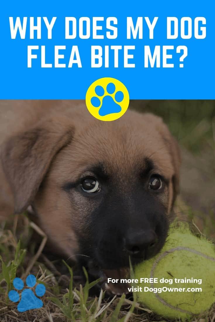 Why Does My Dog Flea Bite Me Pinterest Image