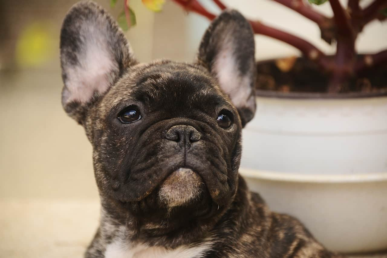 Are Frenchies Hypoallergenic?