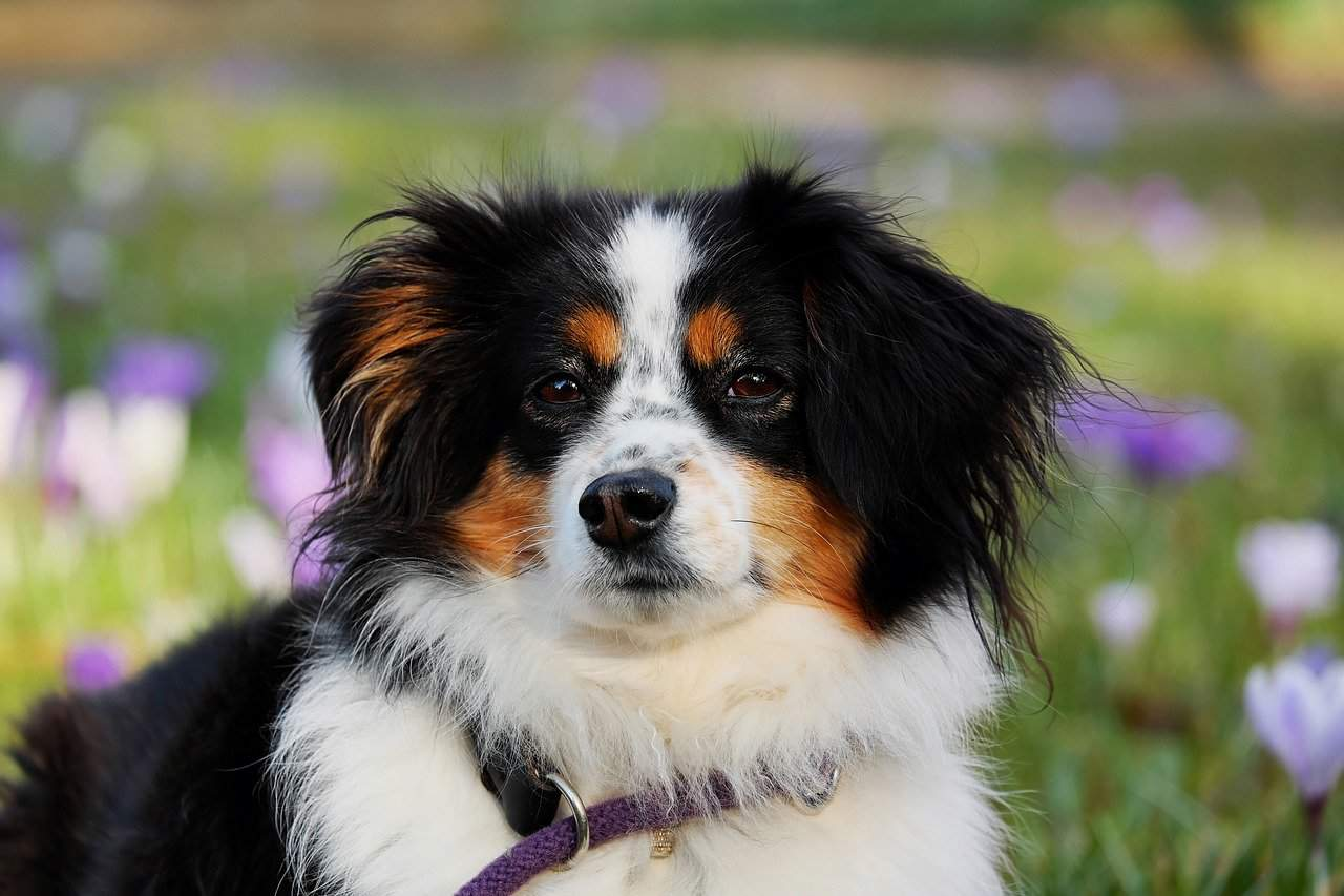 Are Australian Shepherds Good With Cats?
