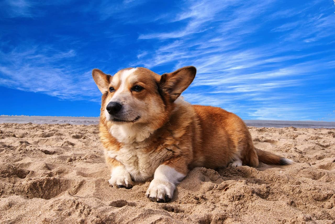 Are Corgis Good Apartment Dogs?