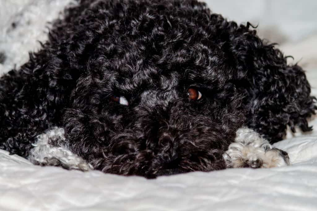 a barbet with an all black coat laying down on a bed