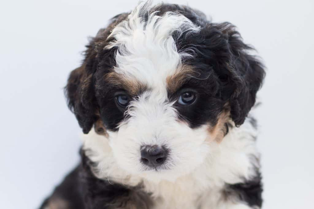 a bernedoodle puppy staring forward