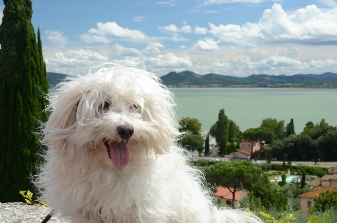 a bolognese dog with a beautiful landscape behind them