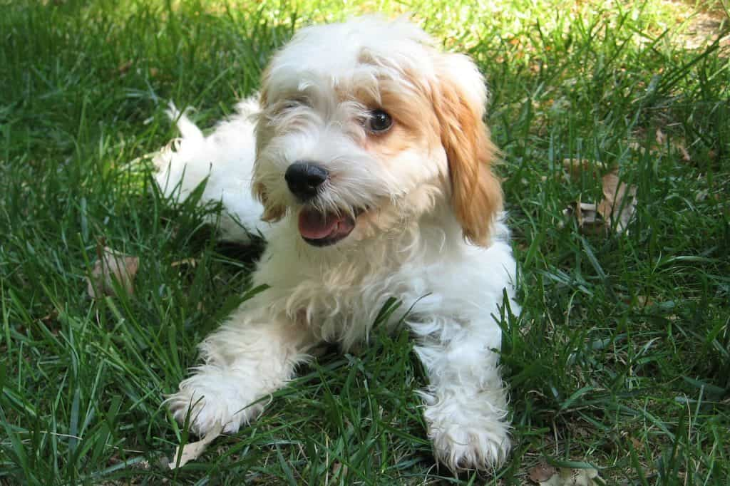 a cavapoo laying in grass with its tongue out