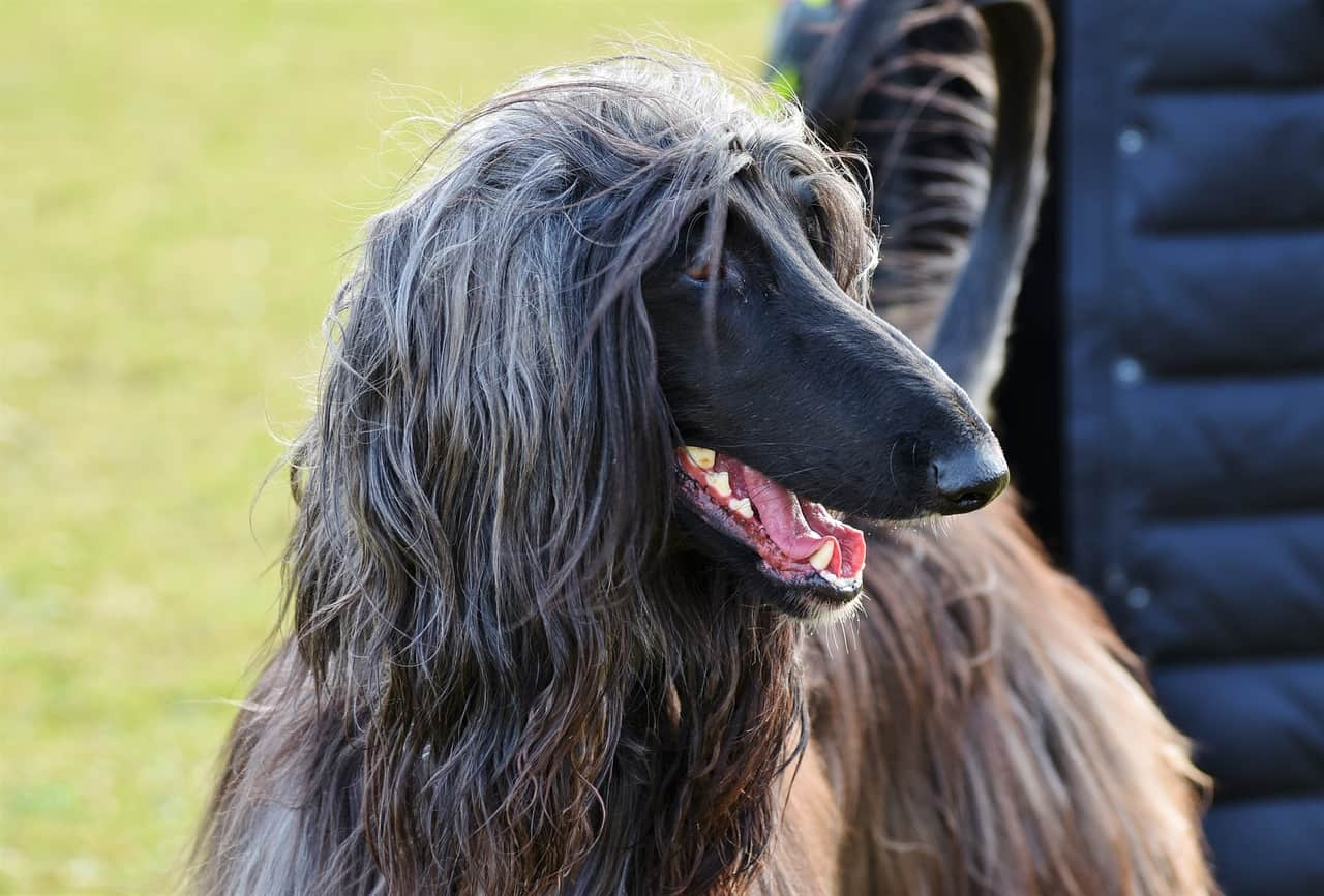 a gray and tan afghan hound