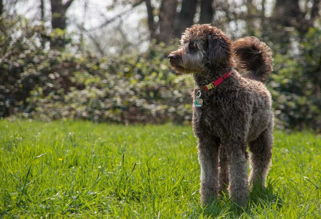 a large Labradoodle standing in a yard