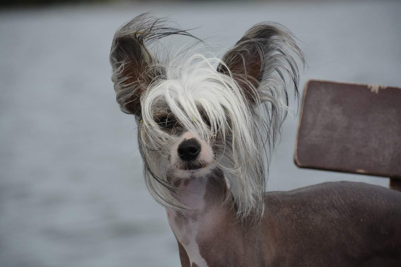 a picture of a chinese crested dog