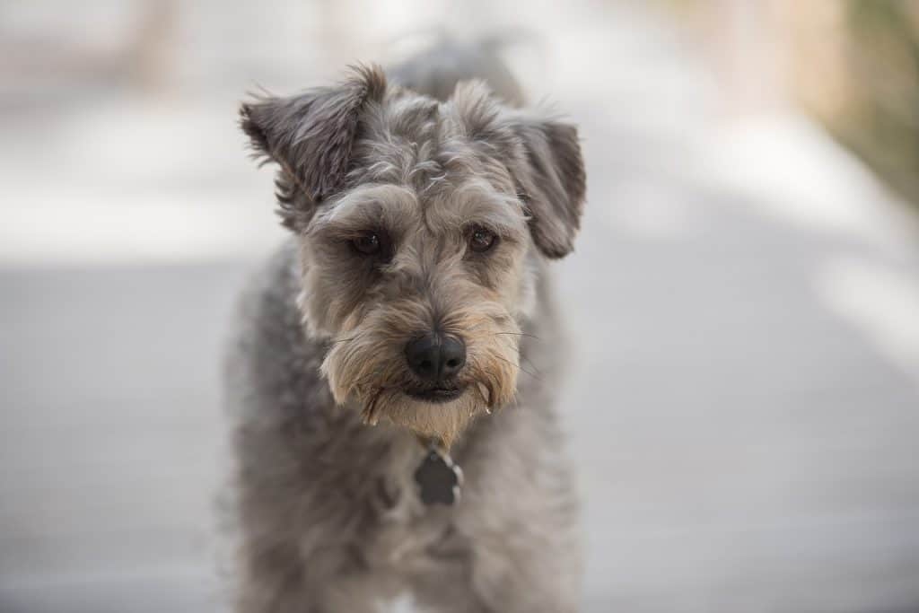 a small gray Schnoodle standing in the shade on a sidewalk