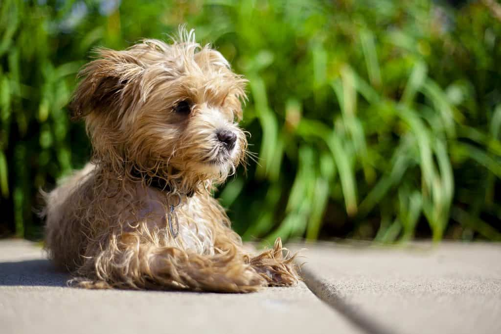 a small Maltipoo laying on the sidewalk next to a bush