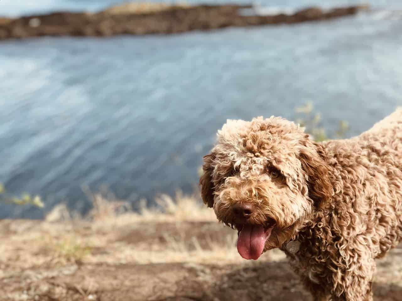a tan Lagotto Romagnolo standing next to water